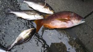 昨夜(5/29の夜🌃✨)神子元島の夜釣り釣果速報❕❕