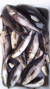 昨夜( 7/30の夜🌃✨)神子元島の夜釣りの釣果速報❕❕🎵😁✋